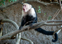 White Faced Capuchin Monkey, Palo Verde National Park, Guanacaste, Costa Rica