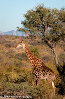 Giraffe, Game Drive, Kapama Private Game Reserve, South Africa