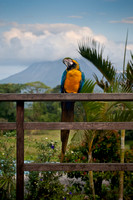 Stephanie, the blue and yellow macaw at Arenal Lodge near Arenal Volcano, Costa Rica