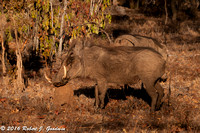 Warthogs, Game Drive, Kapama Private Game Reserve, South Africa