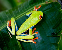 Red-eyed tree frog at Arenal Lodge near Arenal Volcano, Costa Rica